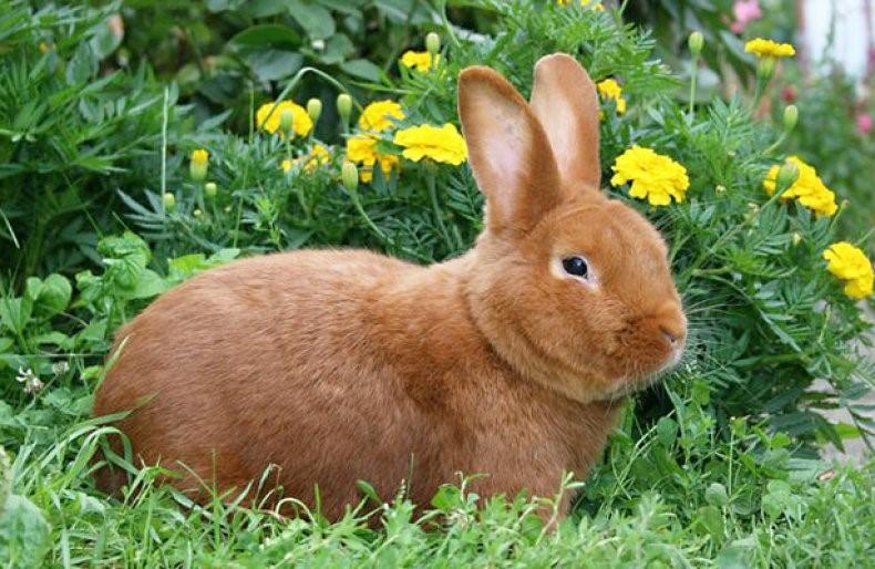 Новозеландский кролик порода