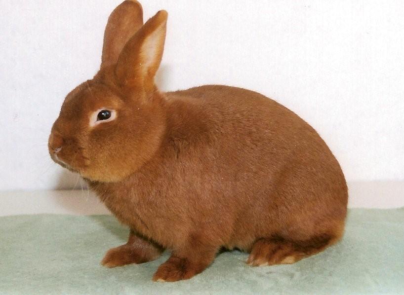 Новозеландский кролик история породы