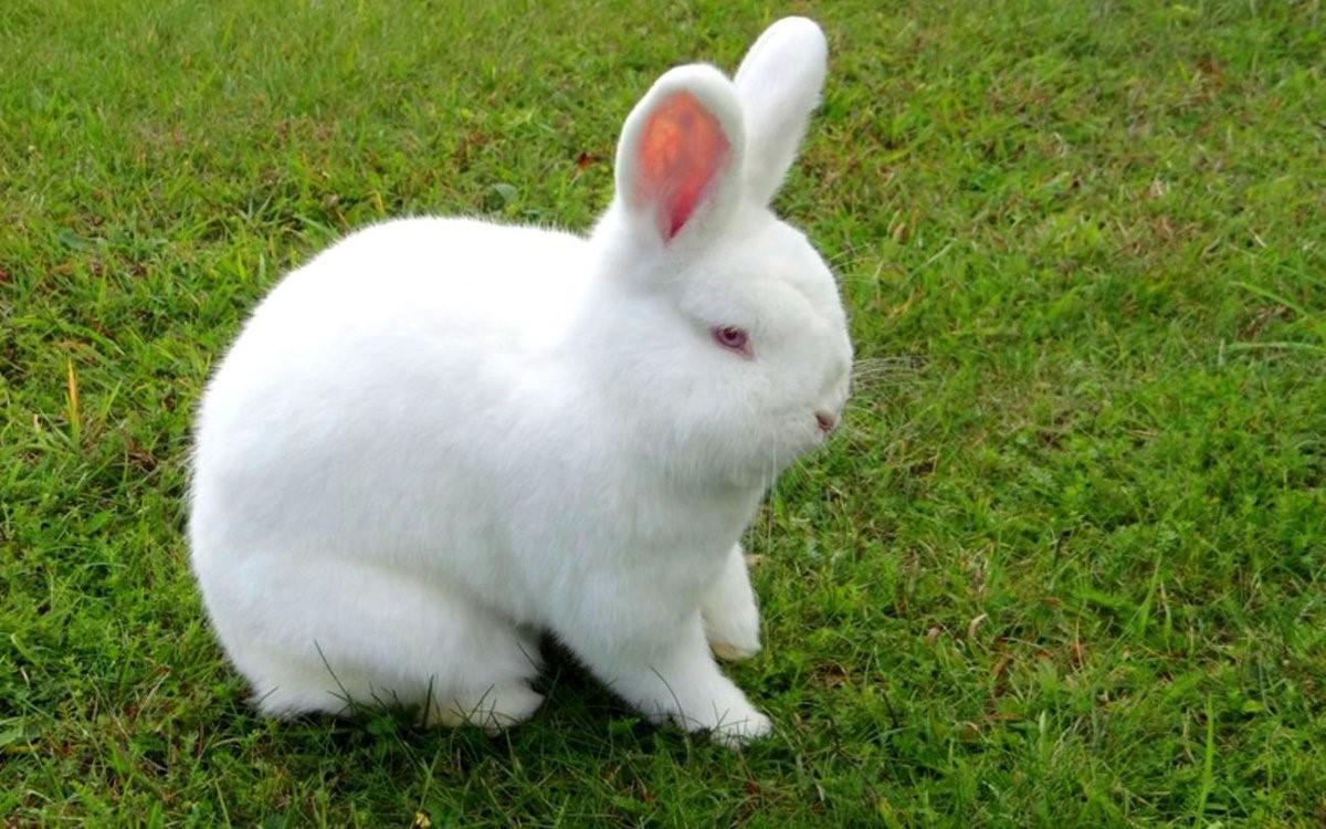 Внешность новозеландского кролика