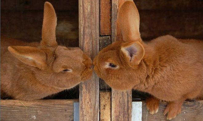Методы стимулирования спаривания кроликов