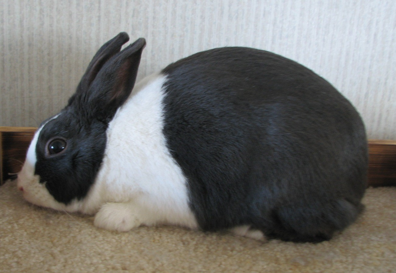 Кролик Голландский