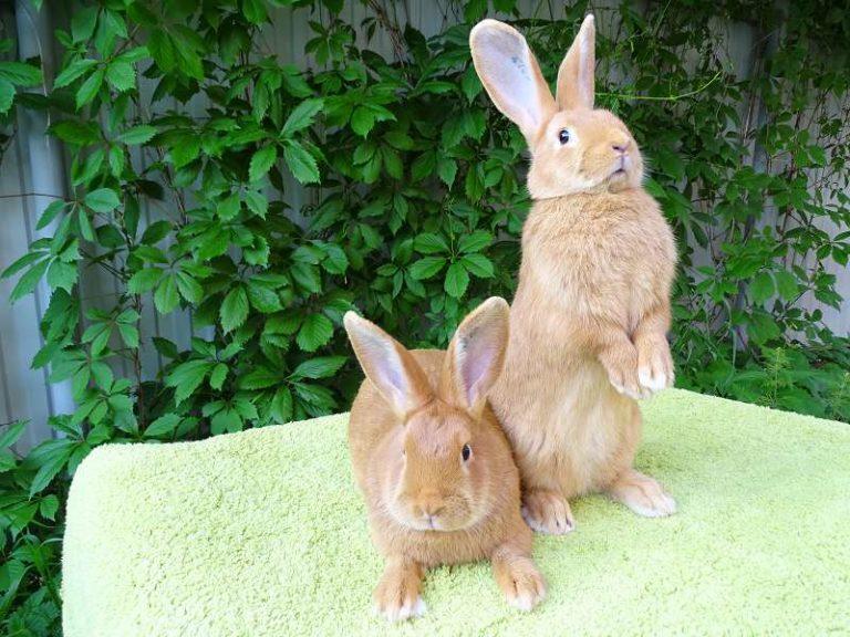 Внешний вид бургундских кроликов