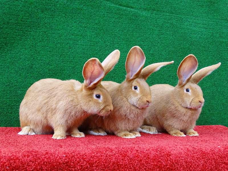 Размножение бургундских кроликов