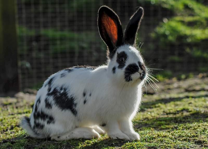 Кролик Английская Бабочка