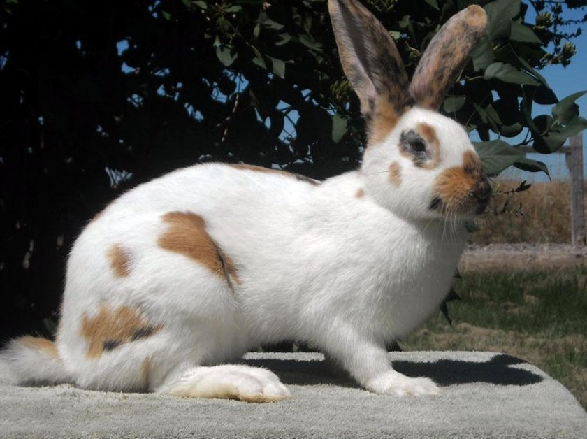 Рейнский кроли
