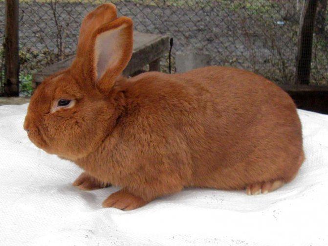 Достоинства бургундских кроликов