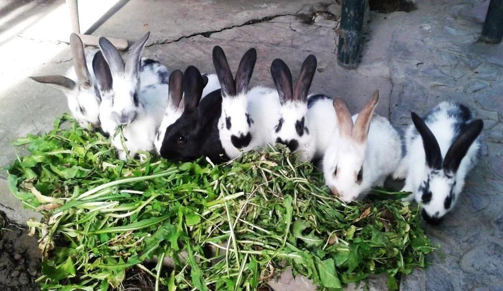 Кролик строкач: описание породы