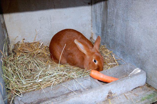 Рацион бургундских кроликов должен содержать отварные овощи