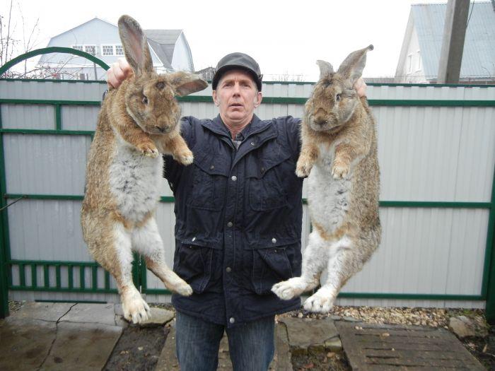 кролики большие