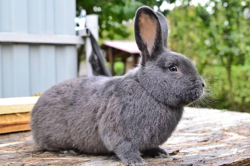 Кролики великаны: описание породы