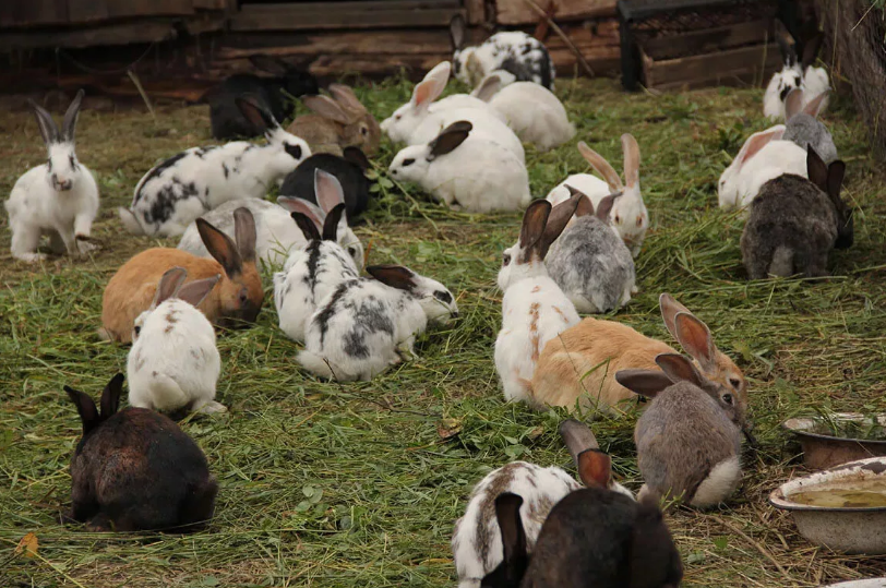 Как разводить кроликов на даче