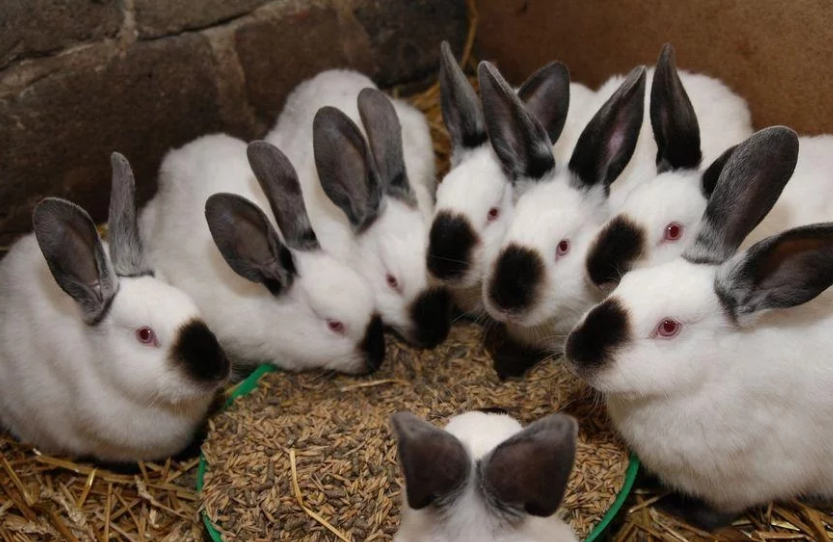 Заключительный этап откорма кроликов
