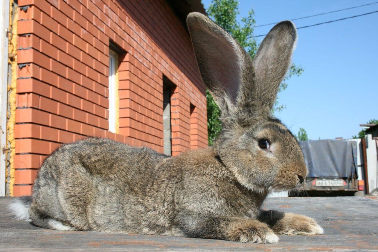 Бельгийский великан порода кроликов