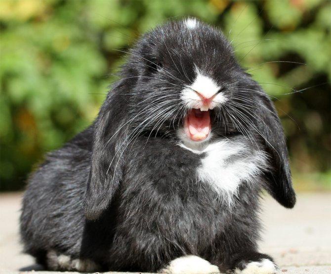 кролик кричит