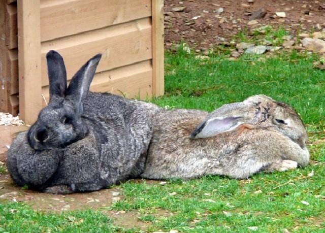 Ожирение у кроликов