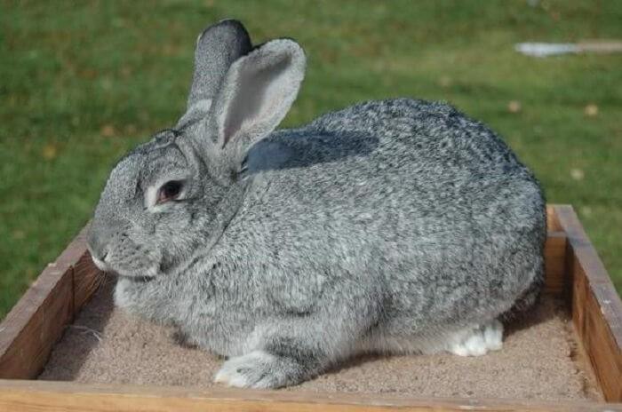 Советская шиншилла порода кроликов