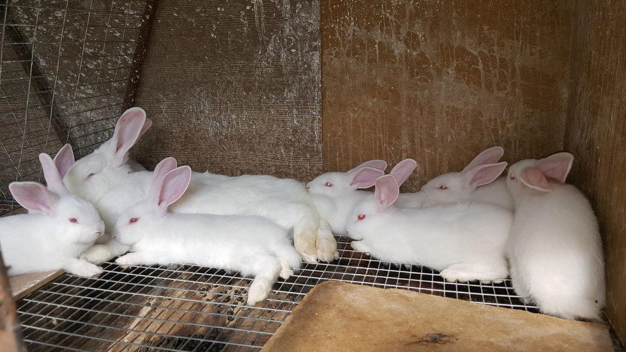Разведение кролика хиколь