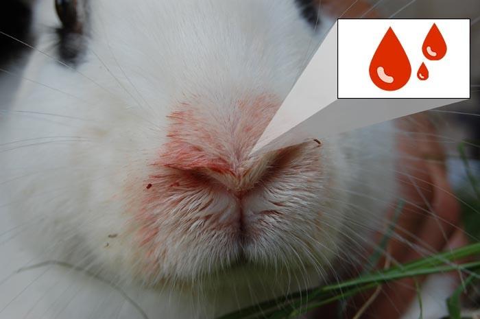 геморрагическая болезнь кролей