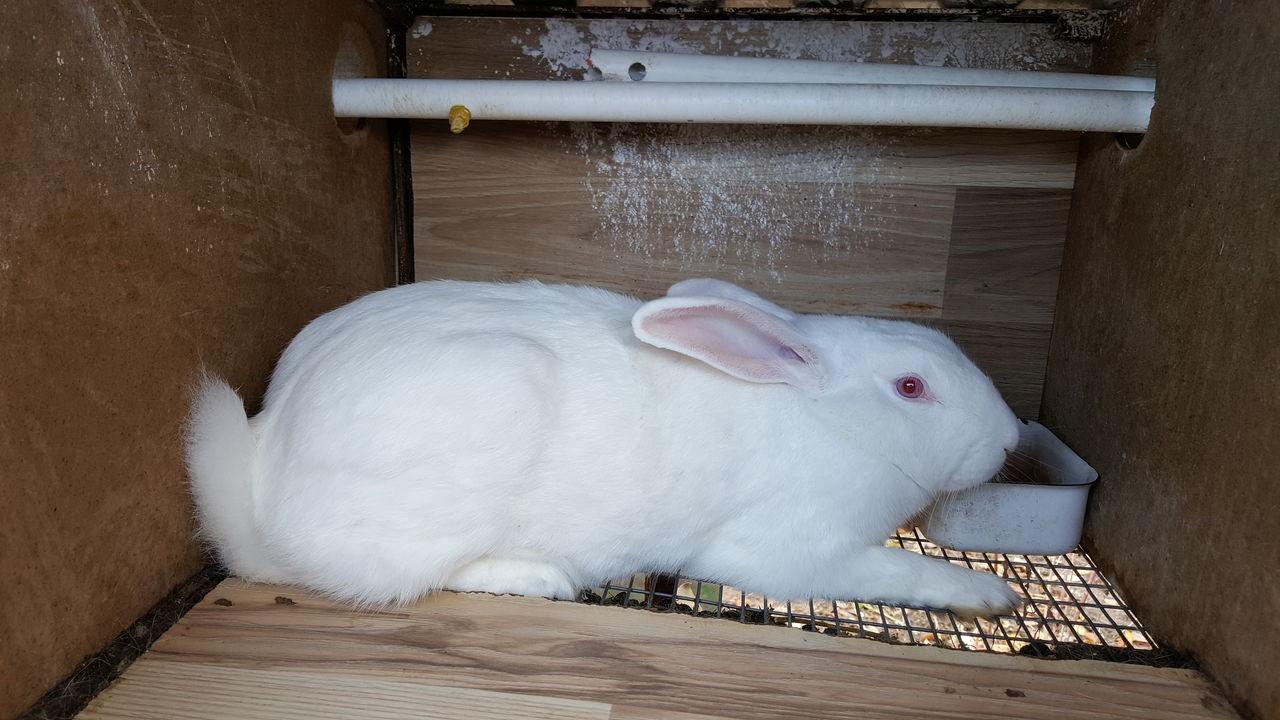Кролик хиколь