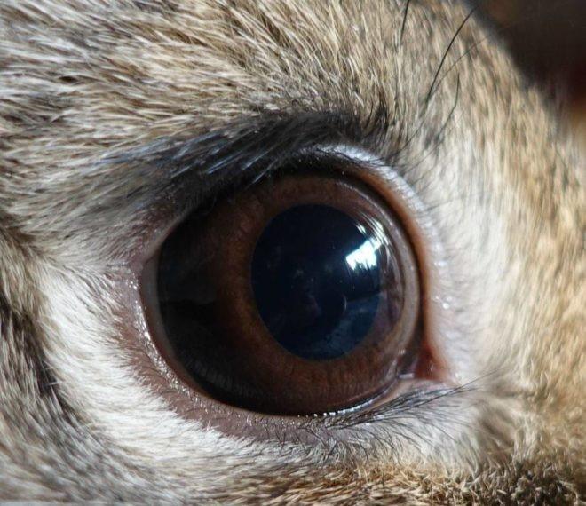 Строение глаза кролика