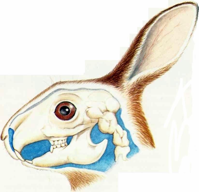 Коренные зубы у кролика