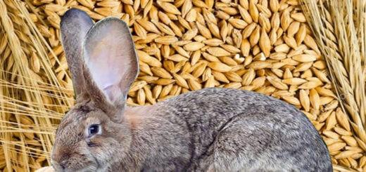 Как кормить кролика ячменем