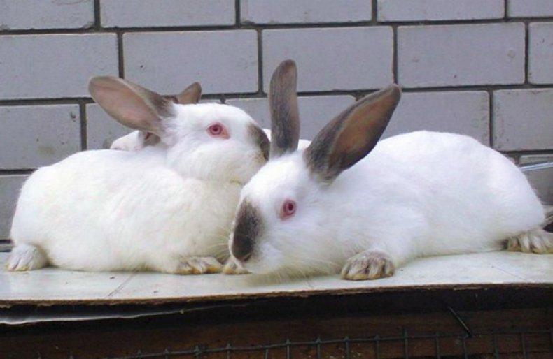 Выращивание кролика хиплус