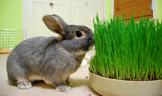 Набор веса у кроликов