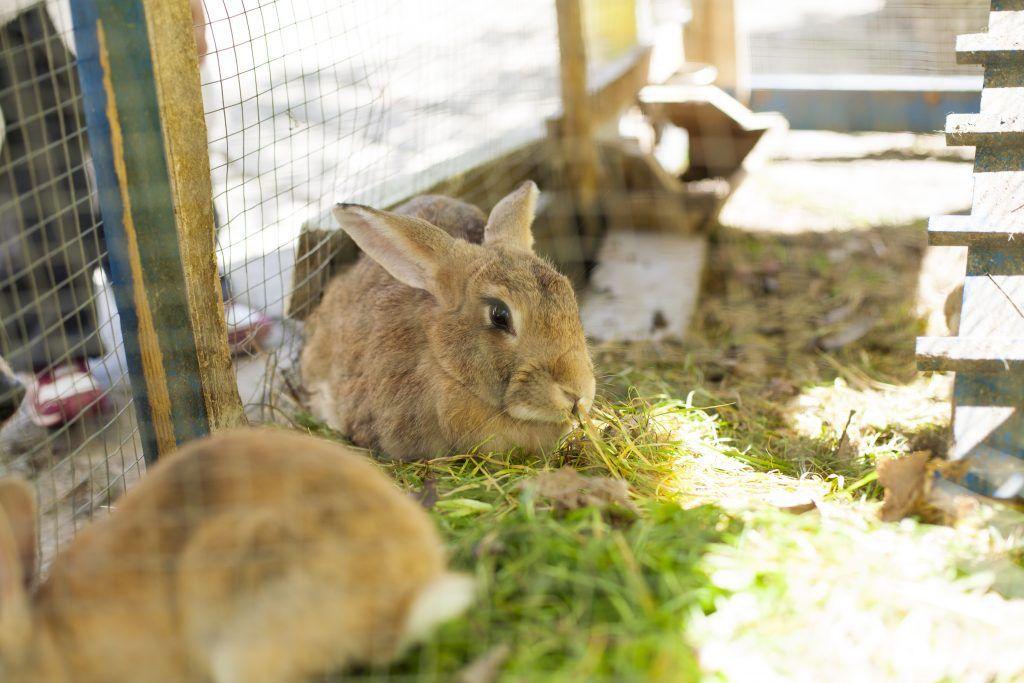 Отличия декоративного и продуктивного кроликов