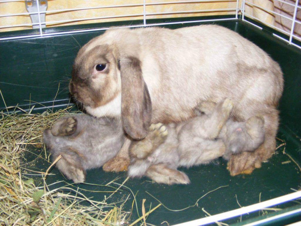 Естественное кормление кроликов