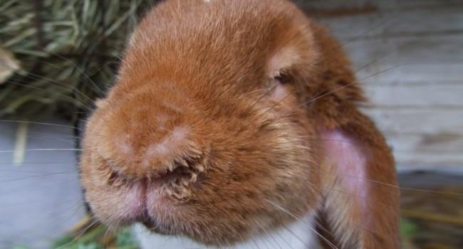 морда кролика