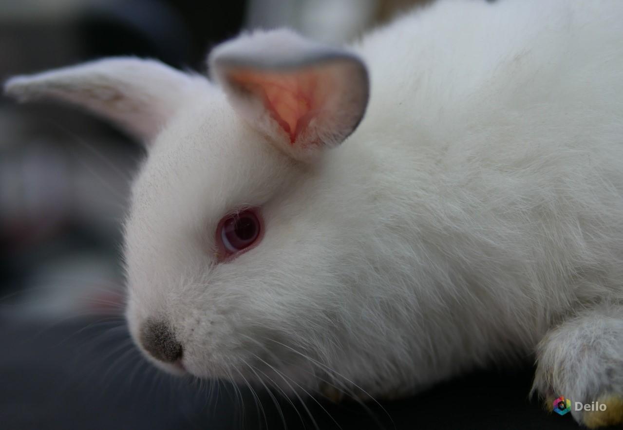 половозрелость кроликов