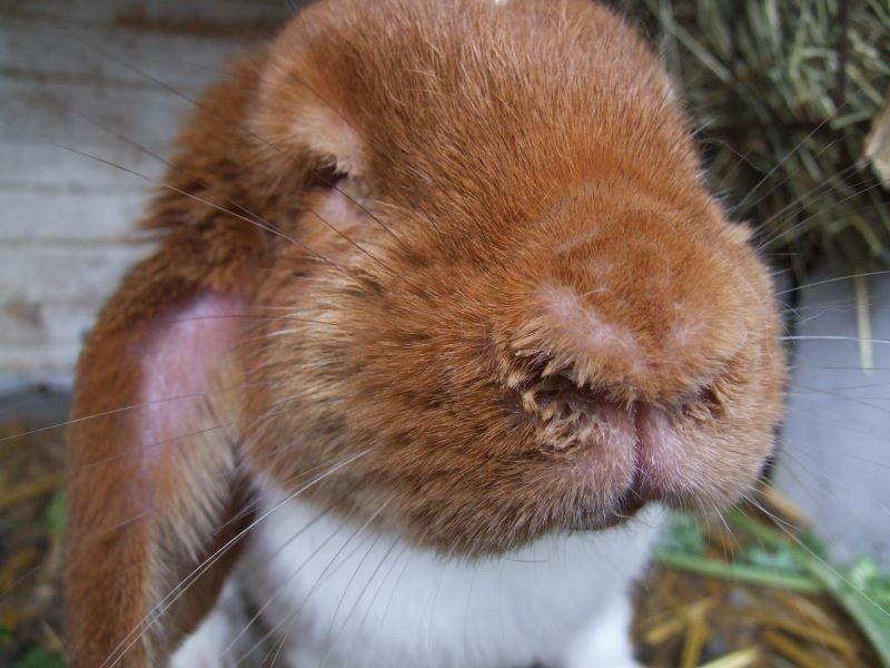 Мокрый нос у кролика