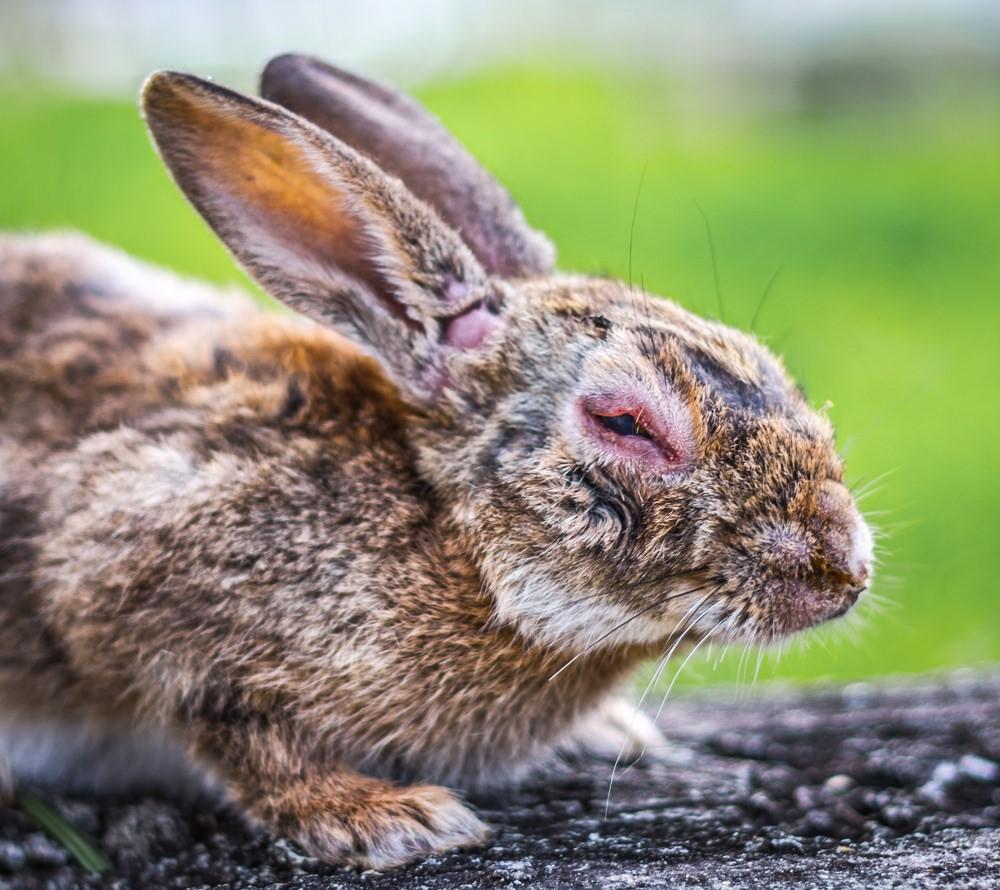 кроль, больной миксоматозом