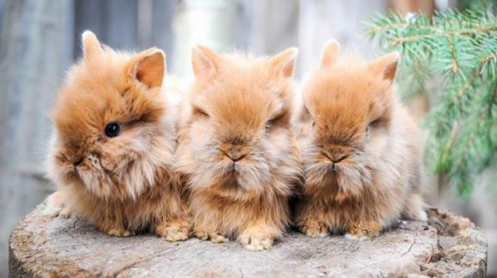 Львиноголовые кролики: описание и разведение