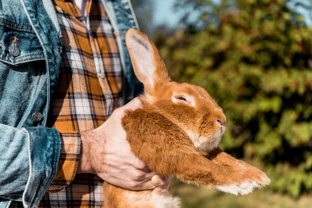 Как правильно и безопасно брать кролика на руки