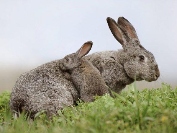 Переболевшая крольчиха