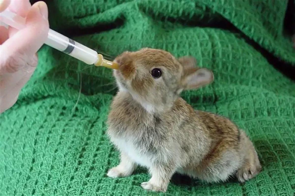 Искусственное выкармливание кроликов