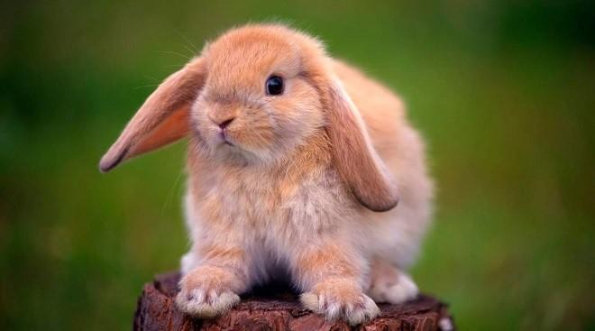 Декоративный кролик породы баран