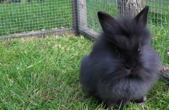 черный львиноголовый кролик