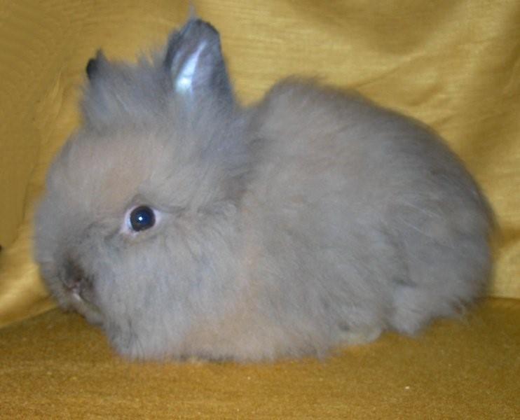 опаловый кролик