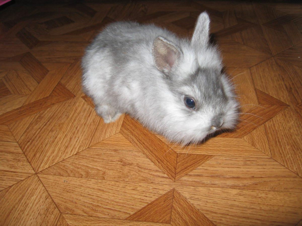 • шиншилловые кролики