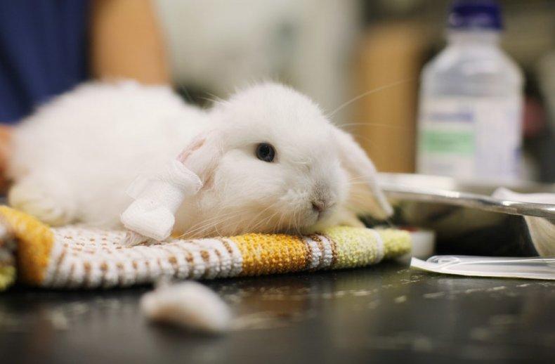 Трихостронгилез у кролика