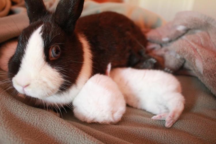 Как узнать кормит ли крольчиха крольчат и как организовать искусственное вскармливание
