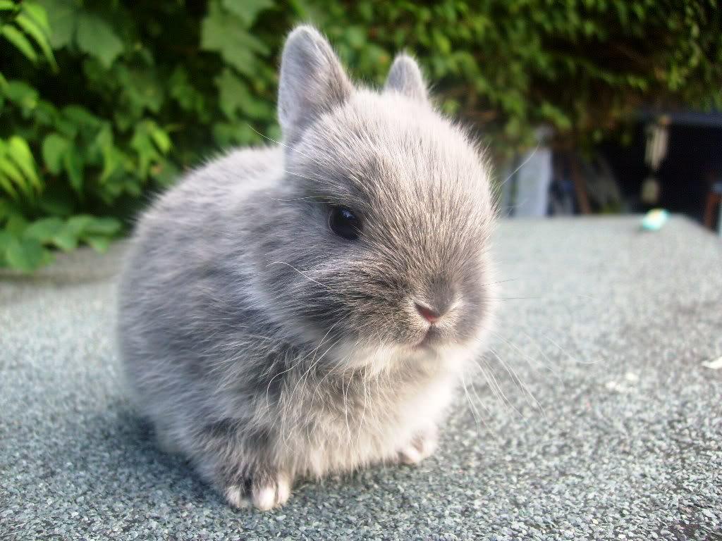 Смесь декоративного кролика и мясного