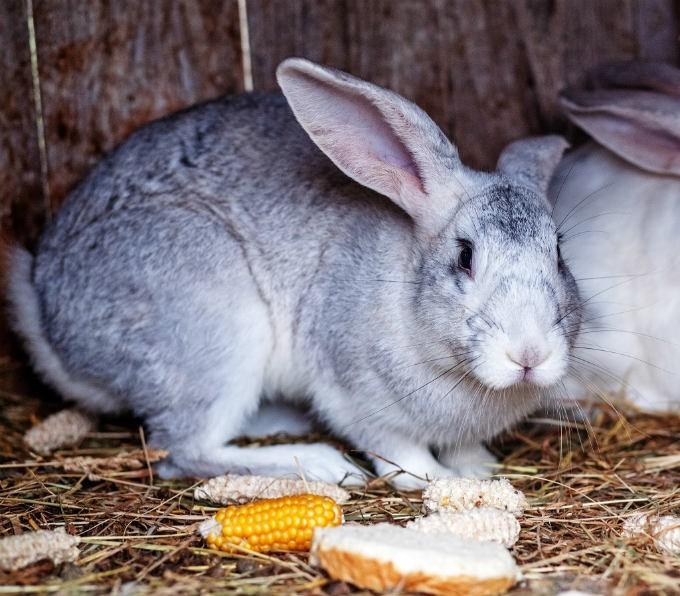 кролики и кукуруза