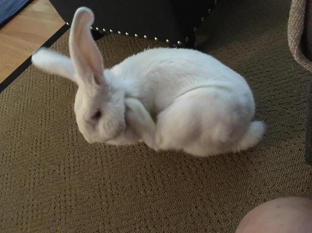 Зараженный кролик