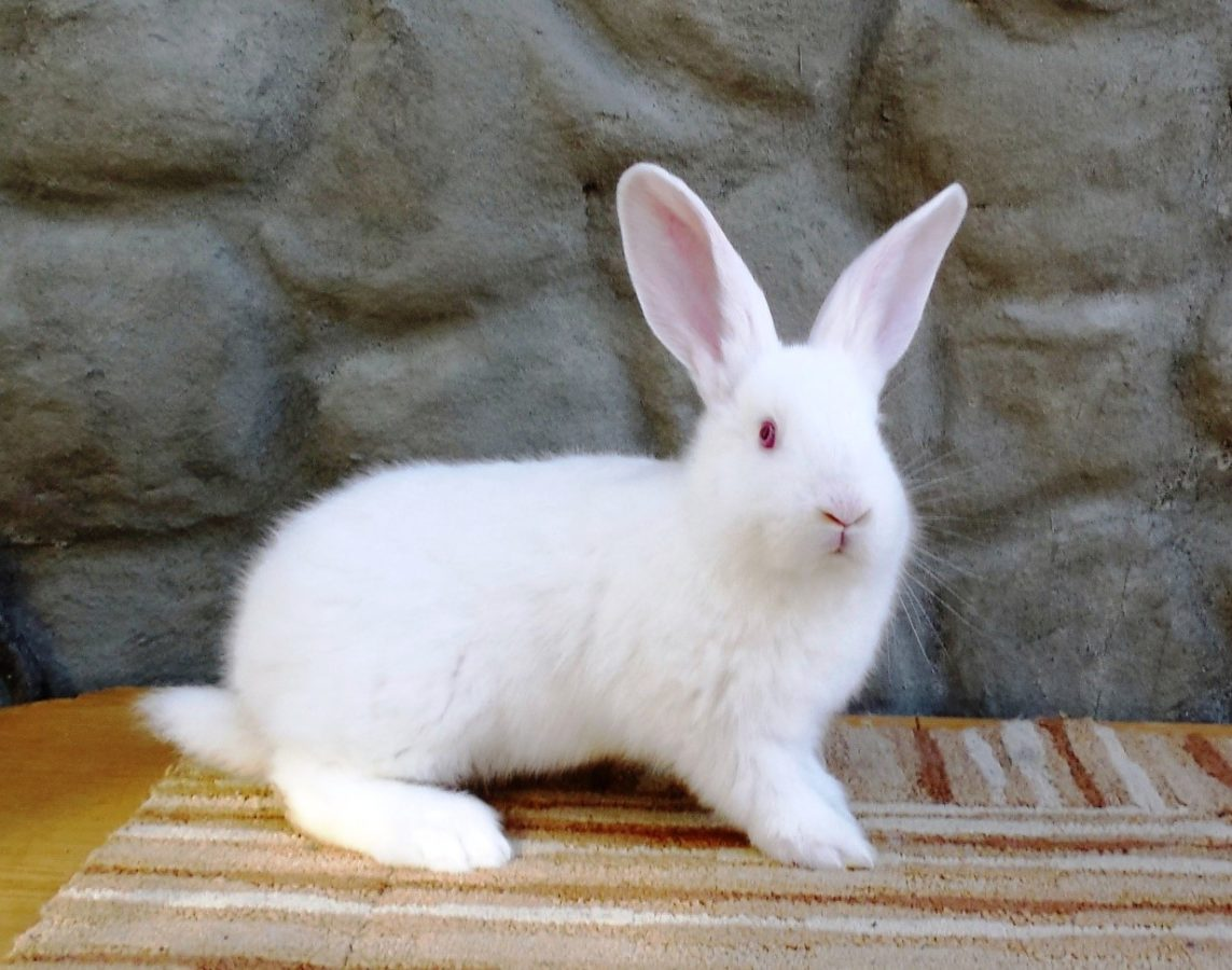 Белый паннон кролик фото