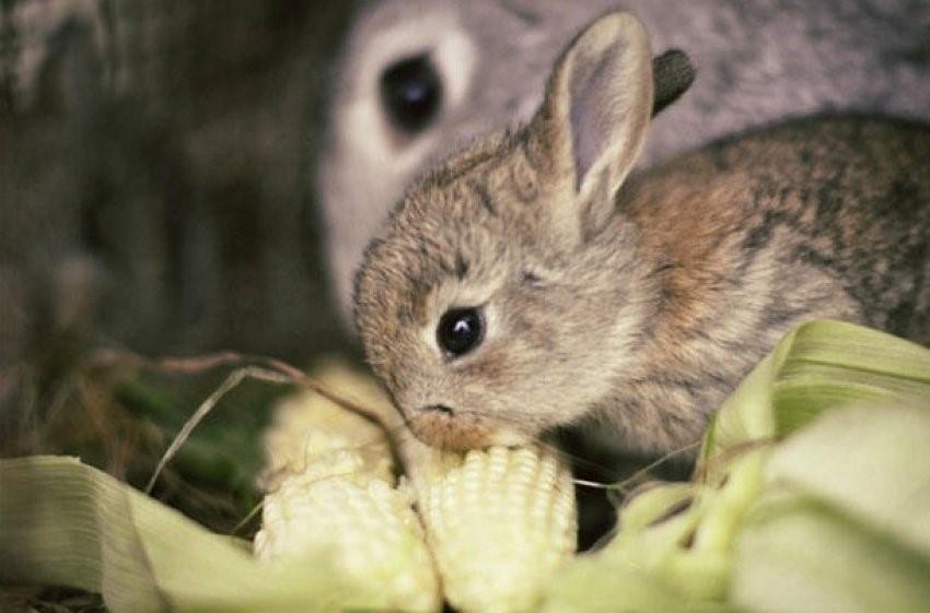 кукуруза для крольчат
