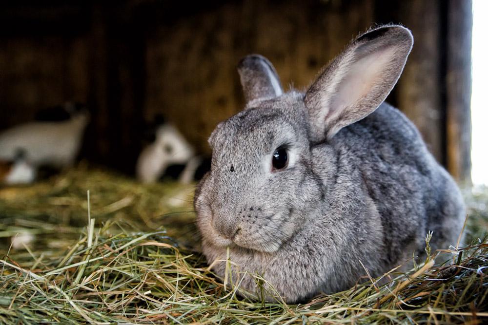 Кормление кролика летом